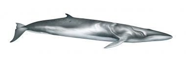 Image of Omura's whale (Balaenoptera omurai) - Adult right side