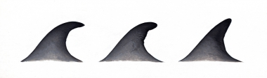 Image of Omura's whale (Balaenoptera omurai) - Dorsal fin variations
