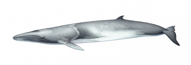 Image of Omura's whale (Balaenoptera omurai) - Adult left side