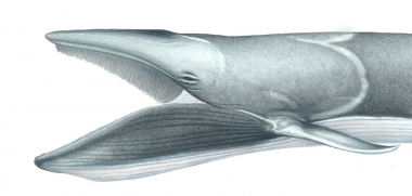 Image of Omura's whale (Balaenoptera omurai) - Adult with open mouth