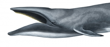 Image of Sei whale (Balaenoptera borealis) - Adult with open mouth