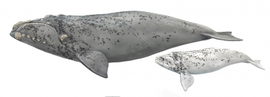 Image of Southern right whale (Eubalaena australis) - Variant known as 'grey-morph' where whales are born predominently white with splatterings of black spots; adult and calf