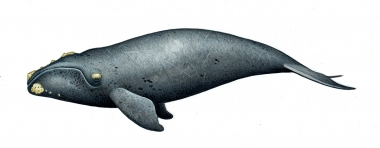 Image of Southern right whale (Eubalaena australis) - Calf