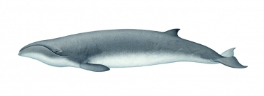 Image of Pygmy right whale (Caperea marginata) - Adult variation