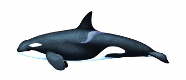 Image of Killer whale or orca (Orcinus orca) - Juvenile resident, North Pacific