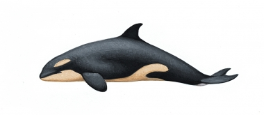 Image of Killer whale or orca (Orcinus orca) - Newborn calf resident, North Pacific