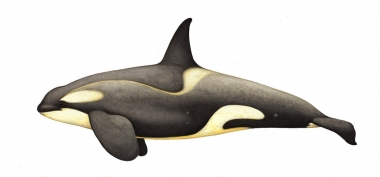 Image of Killer whale or orca (Orcinus orca) - Adult male large type B (Pack Ice), with diatoms, Antarctic