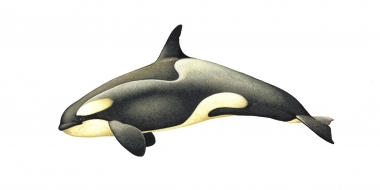 Image of Killer whale or orca (Orcinus orca) - Adult female large type B (Pack Ice) with diatoms, Antarctic