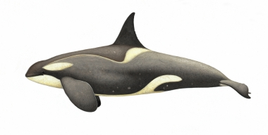 Image of Killer whale or orca (Orcinus orca) - Adult male small Type B (Gerlache) with diatoms, Antarctic