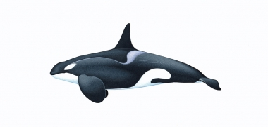 Image of Killer whale or orca (Orcinus orca) - Adult male type C (Ross Sea), Antarctic