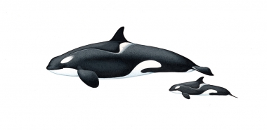 Image of Killer whale or orca (Orcinus orca) - Adult female and calf  type C (Ross Sea), Antarctic