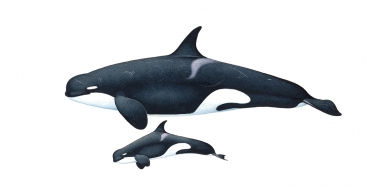 Image of Killer whale or orca (Orcinus orca) - Adult female and calf  type D, Sub-Antarctic