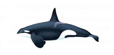 Image of Killer whale or orca (Orcinus orca) - Adult male West Coast community (North-east Atlantic)