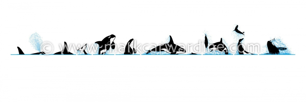 Killer whale or orca (Orcinus orca)