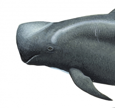 Image of Short-finned pilot whale (Globicephala macrorhynchus) - Adult male head