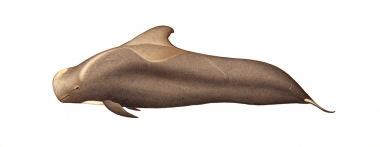 Image of Short-finned pilot whale (Globicephala macrorhynchus) - Adult male brown variation
