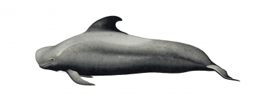 Image of Short-finned pilot whale (Globicephala macrorhynchus) - Adult male Naisa type (throughout range except eastern Pacific and southern Japan)