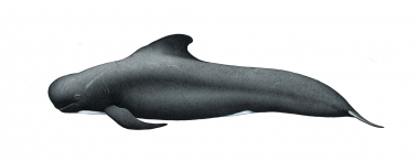 Image of Long-finned pilot whale (Globicephala melas) - Adult male, North Atlantic