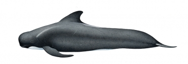 Image of Long-finned pilot whale (Globicephala melas) - Adult female North Atlantic