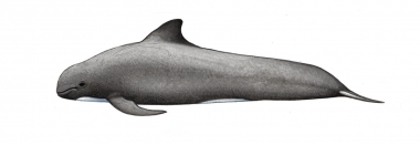 Image of Long-finned pilot whale (Globicephala melas) - Calf