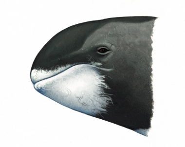 Image of Pygmy killer whale (Feresa attenuata) - Head (to compare with melon-headed whale)