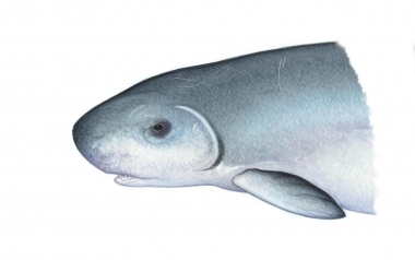 Image of Dwarf sperm whale (Kogia sima) - Head showing colour variation