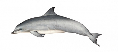 Image of Common bottlenose dolphin (Tursiops truncatus) - Adult