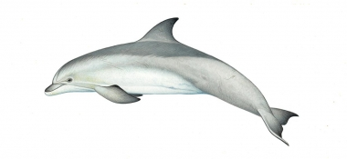 Image of Common bottlenose dolphin (Tursiops truncatus) - Adult variation