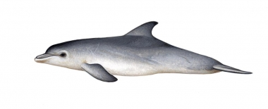 Image of Common bottlenose dolphin (Tursiops truncatus) - Calf