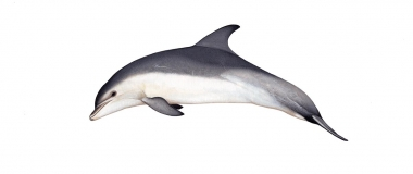 Image of Common bottlenose dolphin (Tursiops truncatus) - Adult Burrunan type occurring in Victoria, Australia