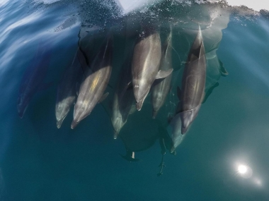 Image of Common bottlenose dolphin (Tursiops truncatus) - Bow-riding, Baja California, Mexico, North Pacific