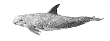 Image of Risso's dolphin (Grampus griseus) - Adult male, from higher latitudes