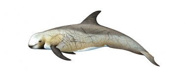 Image of Risso's dolphin (Grampus griseus) - Adult male brown form