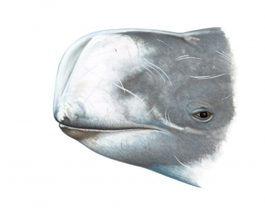Image of Risso's dolphin (Grampus griseus) - Adult male head showing distinct vertical V-shaped groove on front of melon