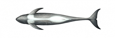 Image of Risso's dolphin (Grampus griseus) - Adult male underside