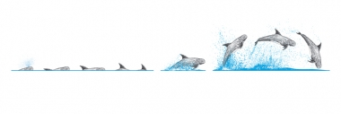 Image of Risso's dolphin (Grampus griseus) - Dive sequence