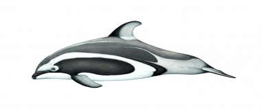 Image of Pacific white-sided dolphin (Lagenorhynchus obliquidens) - Adult Brownell morph