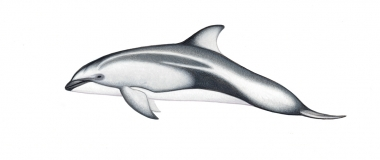Image of Pacific white-sided dolphin (Lagenorhynchus obliquidens) - Calf