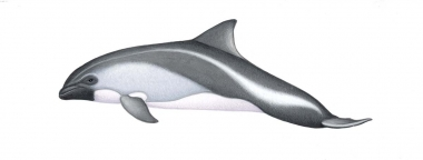 Image of Peale's dolphin (Lagenorhynchus australis) - Calf