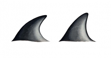 Image of Peale's dolphin (Lagenorhynchus australis) - Dorsal fin variations