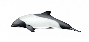 Image of Commerson's dolphin (Cephalorhynchus commersonii) - Adult, Kerguelen Islands subspecies