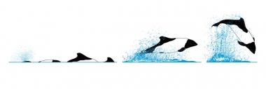 Image of Commerson's dolphin (Cephalorhynchus commersonii) - Dive sequence