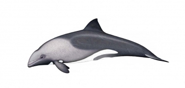 Image of Heaviside's dolphin (Cephalorhynchus heavisidii) - Adult