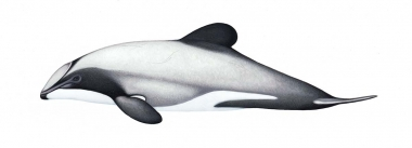 Image of Hector's dolphin (Cephalorhynchus hectori) - Adult
