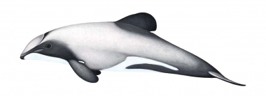 Image of Hector's dolphin (Cephalorhynchus hectori) - Adult variation