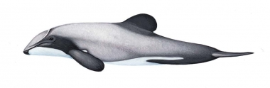Image of Hector's dolphin (Cephalorhynchus hectori) - Calf