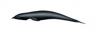 Image of Northern right whale dolphin (Lissodelphis borealis) - Adult
