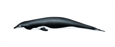 Image of Northern right whale dolphin (Lissodelphis borealis) - Adult 'swirled' colour morph