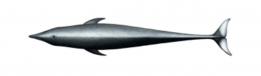 Image of Northern right whale dolphin (Lissodelphis borealis) - Adult topside