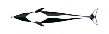 Image of Northern right whale dolphin (Lissodelphis borealis) - Adult underside